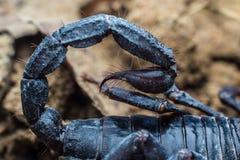蝎子的有刺的动物 免版税库存照片