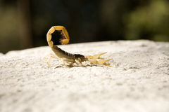 蝎子 库存照片