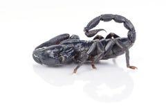 蝎子 免版税库存图片
