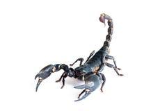 黑蝎子 库存图片