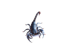 黑蝎子 免版税库存图片