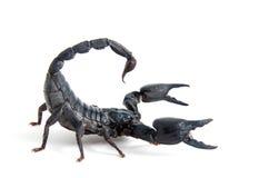 蝎子 免版税图库摄影