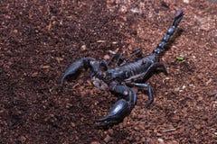 黑蝎子 免版税图库摄影
