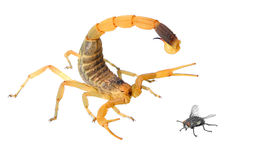 蝎子(Deathstalker) 库存图片