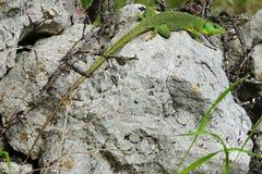 蝎虎座trilineata成人 免版税图库摄影