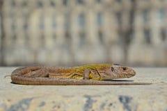 蝎虎座Viridis 免版税库存照片