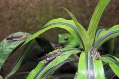 蝗虫和它的掠食性动物- Wallaces飞行青蛙(Rhacophorus nigropalmatus) 免版税库存照片