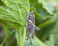 蝗虫坐植物的叶子 免版税库存图片