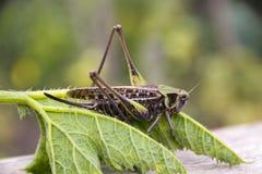 蝗虫坐植物的叶子 免版税库存照片