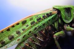蝗虫特写镜头 库存图片