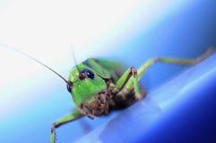 蝗虫特写镜头 库存照片