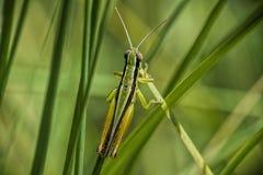 蝗虫,镶边和方格 免版税库存图片
