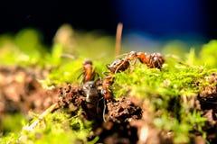 蝗虫画象  免版税库存照片