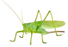 蝗虫 免版税图库摄影