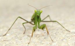 蝗虫 免版税库存图片