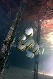 蝙蝠鱼生活水下orbicularis的platax 免版税库存照片
