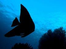 蝙蝠鱼鱼longfin platax剪影teira 库存图片