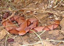 蝮蛇属contortrix copperhead欧塞奇蛇 免版税库存照片