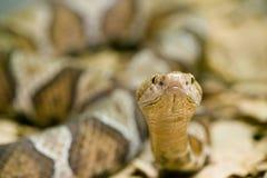 蝮蛇属contortrix copperhead蛇 免版税图库摄影