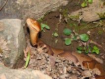 蝮蛇属contortrix copperhead蛇 免版税库存图片