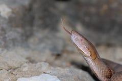 蝮蛇属contortrix phaeogaster 免版税库存图片
