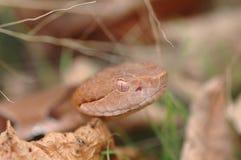 蝮蛇属contortrix phaeogaster 库存照片