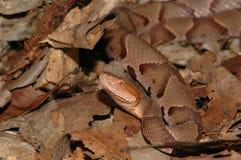 蝮蛇属contortrix phaeogaster 库存图片