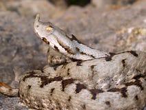蝰蛇属炸药,鼻子有角的蛇蝎,长颚的蛇蝎,垫铁Vipe 库存照片