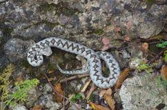 蝰蛇属炸药 库存照片