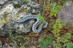 蝰蛇属炸药 图库摄影