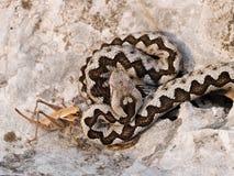 蝰蛇属炸药 库存图片