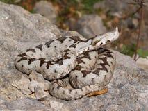 蝰蛇属炸药 免版税库存图片