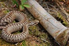 蝰蛇属berus 免版税库存照片
