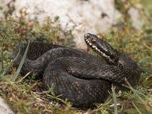 蝰蛇属Berus 库存图片
