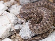 蝰蛇属ursinii macrops,草甸蛇蝎, Ursini ` s蛇蝎,草甸增加 库存照片