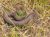 蝰蛇属ursinii macrops 免版税库存照片