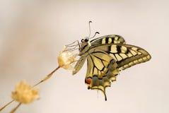 蝴蝶上色了 库存照片