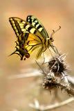 蝴蝶五颜六色的被察觉的刺 库存照片