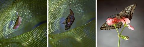 蝴蝶从鸡蛋,幼虫,对成人的蛹的变形序列 免版税库存照片