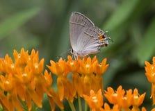 蝴蝶公用翅上有细纹的蝶 免版税库存照片