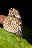 蝴蝶共同核心部分乌鸦euploea夹竹桃 免版税库存照片