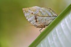 蝴蝶印地安人叶子 图库摄影