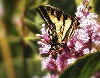 蝴蝶吃 免版税库存图片