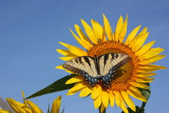 蝴蝶向日葵 库存照片