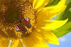 蝴蝶向日葵 免版税库存图片
