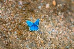 蝴蝶吮在湿沙子的湿气 免版税库存图片