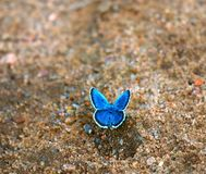 蝴蝶吮在湿沙子的湿气 库存图片