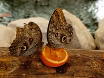 蝴蝶和桔子 免版税图库摄影