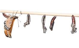 蝴蝶和蛹 免版税库存照片