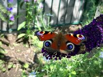 蝴蝶和蜂坐一朵紫色花 库存照片